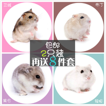 Petit hamster animal de compagnie une paire de mini pouding domestique Silver fox purple warehouse baby send 8 sets