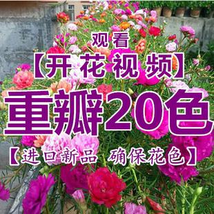 重瓣太阳花苗 盆栽绿植 庭院阳台四季开花不断 带根带土发货 对版