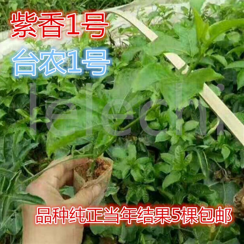 百香果树苗