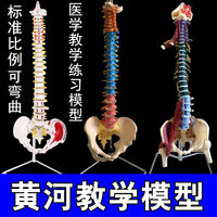 Human spine model 1:1 adult orthopedic exercise spine model cervical vertebrae lumbar human skeleton model skeleton