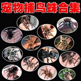 包邮宠物蜘蛛活体幼体捕鸟蛛火玫瑰红白膝头卷毛所罗门金直间等等