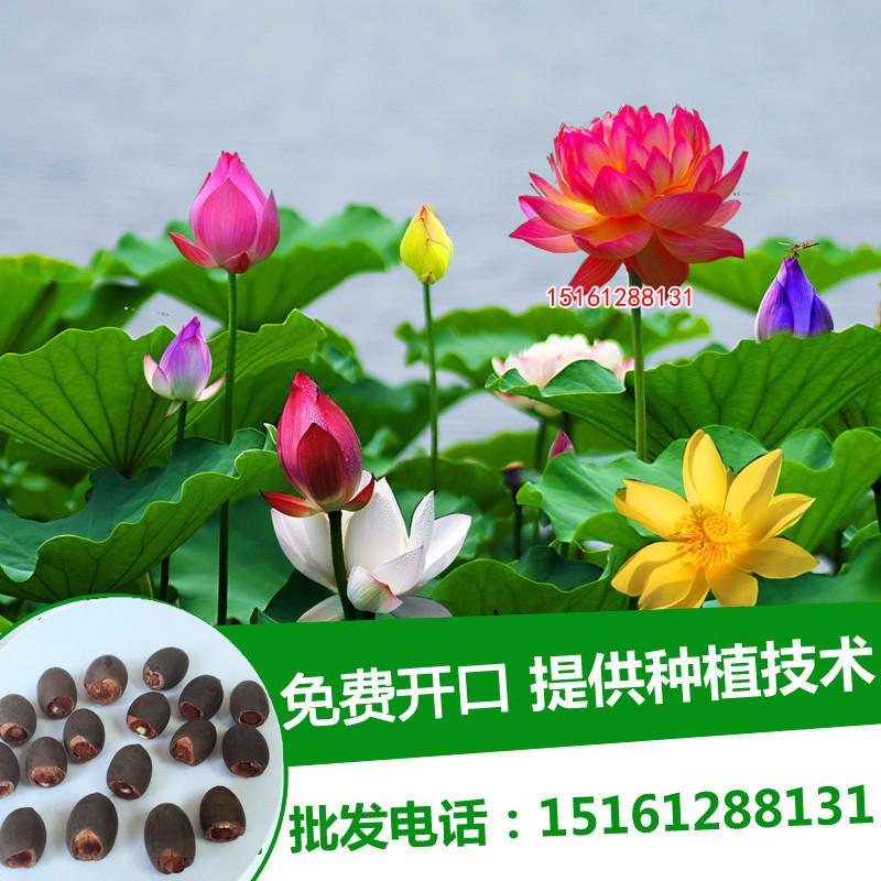 盆栽池塘中大型荷花种藕 莲藕种子 荷花种子苗观赏荷花苗 莲花苗