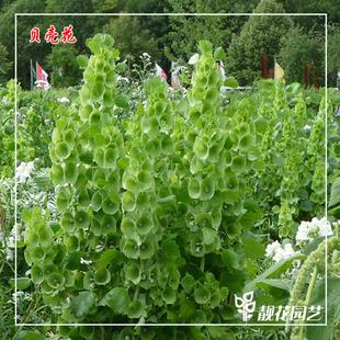 贝壳领圈花种子1公斤景观园林绿化花卉地被草本植物净化空气