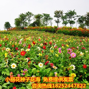别墅家种小区公园学校 阳台盆栽花卉 小丽花种子 多年生公斤批发