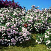 M01龙沙宝石青莲居4年超大扦插月季藤本攀援庭院母本种苗特价