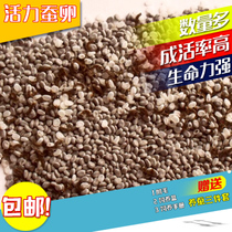 Silkworm Baby Silkworm seed Spring Silkworm The hatching rate of silkworm seeds with high silkworm seed hatching rate