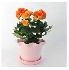 盆栽花卉 丽格海棠 玫瑰海棠 四季秋海棠花苗 带花发货包邮