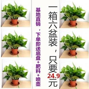 绿萝自动吸水水培盆栽绿植办公室客厅吸甲醛净化空气室内花卉绿箩