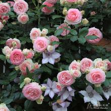 粉色龙沙宝石藤本月季包子早春花量大病少植物盆栽 花园 海蒂