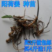 阳荷姜 洋荷姜 种苗 种根 野生阳藿 洋火姜 新鲜种子500g包邮茗荷