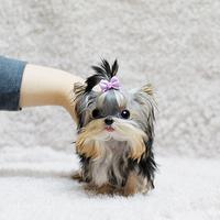 宠物狗狗纯种约克夏幼犬出售约克夏梗金头银背超小体约克夏幼犬/