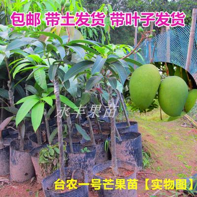 带土包邮  果树苗 芒果苗 台农一号芒果苗 庭院植物 可盆栽