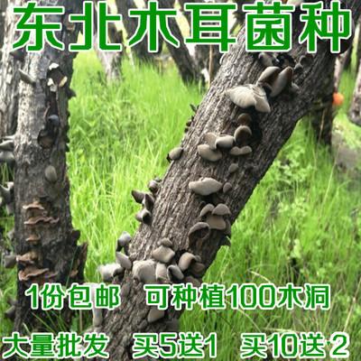 東北黑木耳菌棒食用菌秋耳菌種包菌種子杏鮑菇香菇茶一二三級菌種