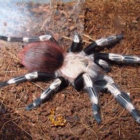 巴西白间红尾蜘蛛新手宠物蜘蛛3-4龄厘米左右新手入门蜘蛛活体