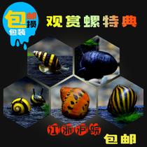 斑马螺鲍鱼螺黑金刚螺洋葱螺杀手螺蜜蜂角螺观赏螺活体除藻