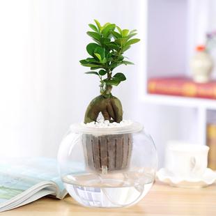 室内绿植 人参榕小榕树创意植物盆栽花卉盆景除甲醛常青水培植物