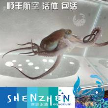 霞红章鱼 蓝环章鱼 章鱼 活体 蓝纹章鱼 短蛸章鱼 深圳水族