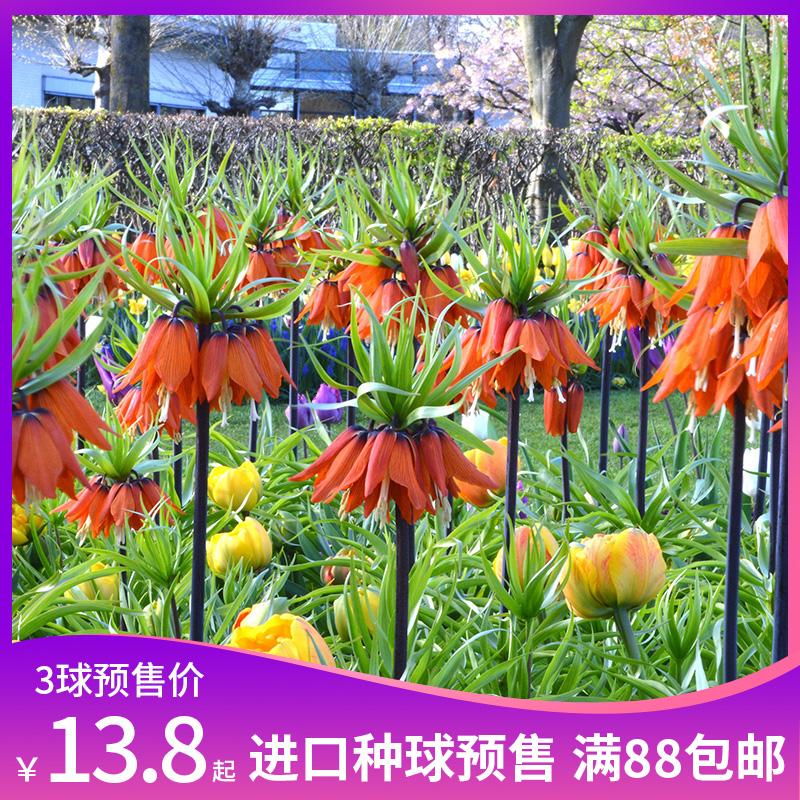Цветочные луковицы Артикул 598369566617