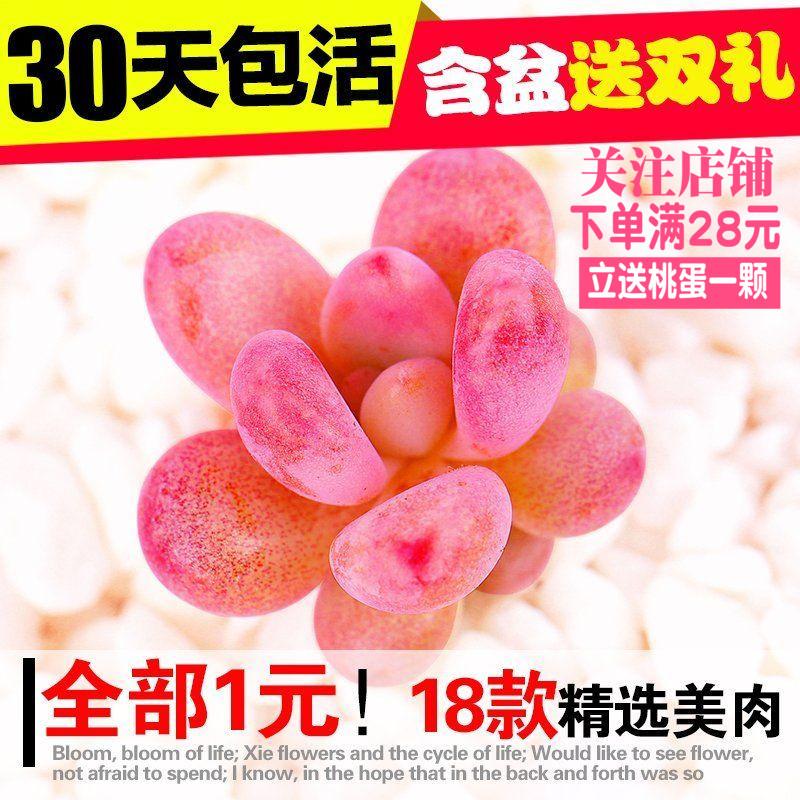 多肉植物组合盆栽桃蛋熊童子玉露婴儿手指多肉套餐含盆送土包邮