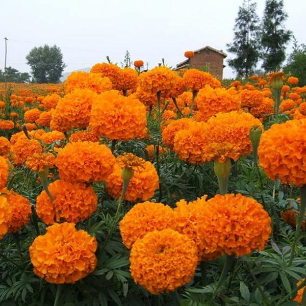 明黄万寿菊种子混色四季种臭菊野菊花籽花海景观庭院工程绿化包邮