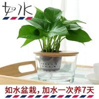 如水盆栽 加水一次养7天 绿萝 净化空气办公室内绿植水培植物盆景