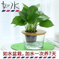 如水盆栽 加水一次养7天 绿萝 室内桌面创意绿植绿色水培植物整