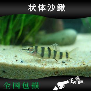 中华 状体沙鳅 九间鼠鱼 六角鱼 活体观赏鱼  原生冷水鱼 工具鱼