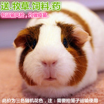 Guinea pigs live guinea pigs live color Dolphins Dutch mice guinea pigs baby for sale small pets need to shoot cages