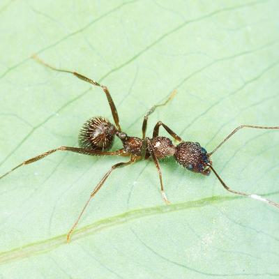 雕刻盘腹蚁Aphaenogaster exasperata 宠物蚂蚁活体