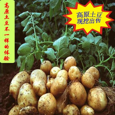 新鲜蔬菜农家自种土豆老品种现挖黄心洋芋非转基因马铃薯9斤包邮