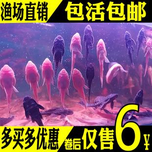 观赏金鱼垃圾鱼热带工具鱼冷水锦鲤鱼鹦鹉鱼女王清道夫鱼活体 包邮