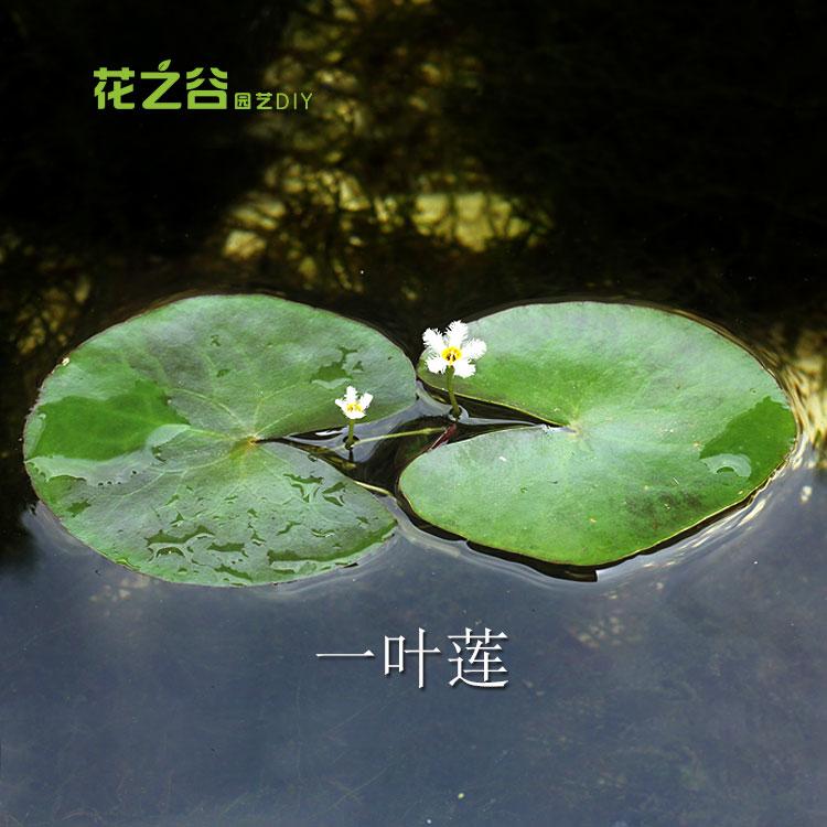 一叶莲浮萍 浮性水草 水生植物 心形一叶莲龙骨瓣 满10元包邮