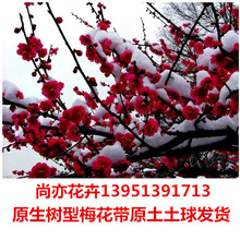 红梅树苗庭院地栽红梅花盆栽树桩盆景原生红梅树当年开花大苗包邮