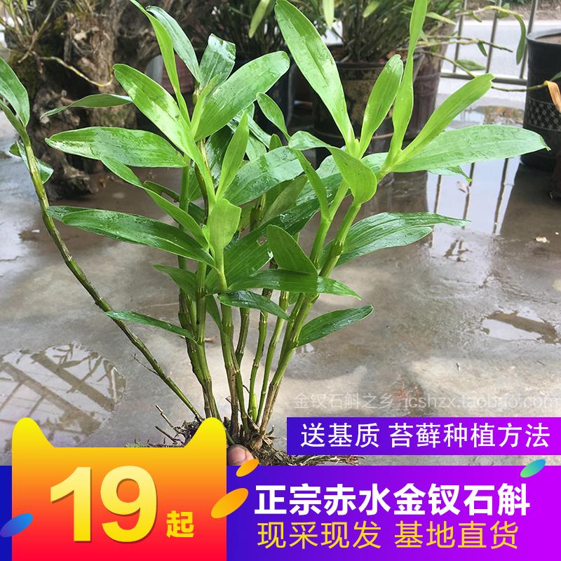 正宗野生赤水金钗石斛丛苗 铁皮鼓槌米吊兰盆栽景室内外绿植花卉