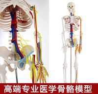 Imported genuine Connaught medical human bone anatomy muscle spine nerve bendable disassembly yoga frame model