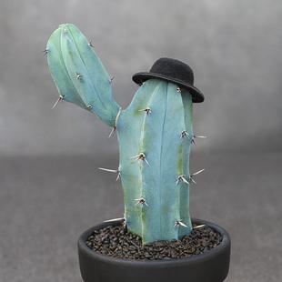 植物員外 墨西哥龍神木 帽子藍色仙人柱仙人掌夏型種沙生造景多肉