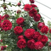 阳台红龙藤本月季苗多花蔷薇 红色龙沙宝石月季 盆栽绿植玫瑰月季