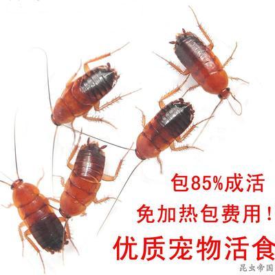 包邮活体樱桃红蟑螂蜘蛛螳螂蜥蜴守官蟋蟀发财鱼龙鱼饲料