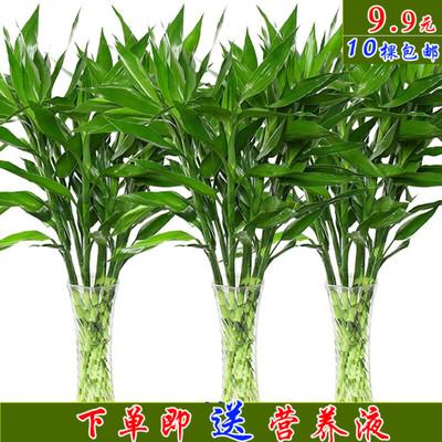 富贵竹水培植物发财树绿萝室内盆栽转运竹四季常青虎皮兰花卉包邮