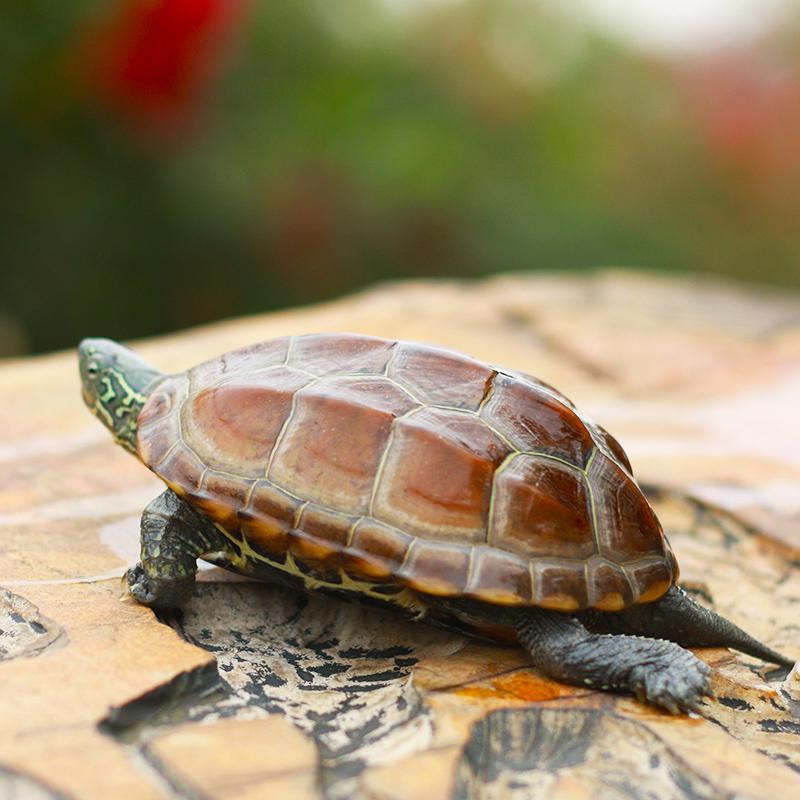 中华草龟 小乌龟活体外塘长寿龟宠物水龟金线龟情侣龟墨龟草龟苗