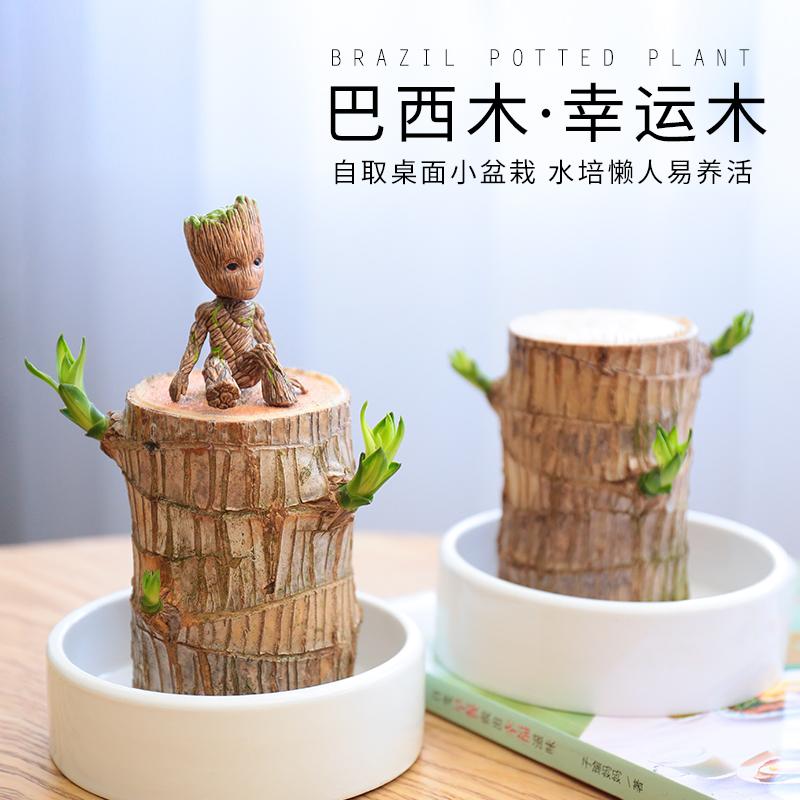 巴西木水培植物幸运木办公室内桌面绿植小盆栽懒人水养易养活花卉