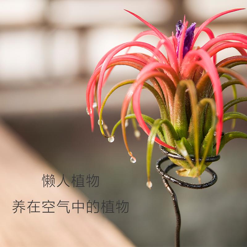 空气凤梨盆栽 懒人盆栽无土植物吸甲醛防辐射植物松萝精灵老人须