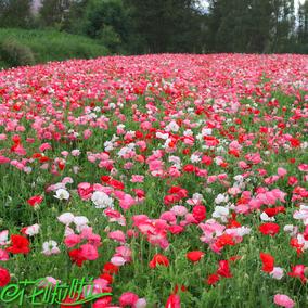 冰岛虞美人种子春秋播观赏花卉丽春花种子景观绿化庭院花草籽包邮