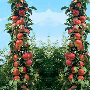 苹果树苗盆栽地栽嫁接苹果树苗水果树苗南方北方种植四季当年结果