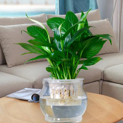 白掌粉掌一帆风顺盆栽花卉室内绿色植物水培花草水养盆花水生植物