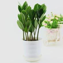 盆栽金钱树 招财进宝 荣华富贵 防辐射 花卉绿植 带盆种好盆景