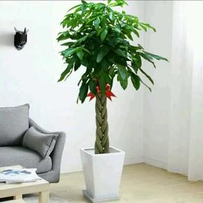 室内花卉 盆景植物 发财树盆栽 客厅创意花草 大型绿植 净化空气