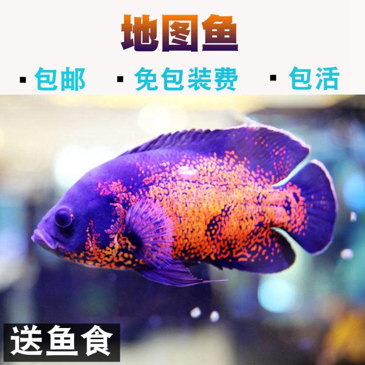 黑地图白地图鱼 热带鱼观赏鱼淡水宠物鱼活体大型鱼凶猛鱼猪仔鱼图片