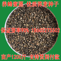 Honey plant sprout seedling seed bitter sweet buckwheat seeds Four Seasons can be sown edible udon triangle Macha