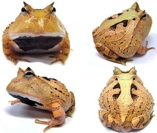 蟾蜍蛙跳跳蛙钟蝌蚪角蛙饲养箱养殖宠物蛙活体青蛙饲养盒彩色迷你